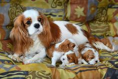 Cute Baby Dogs, Cute Dogs And Puppies, I Love Dogs, Doggies, King Charles Puppy, Cavalier King Charles Dog, Charles Spaniel, Cute Little Animals, Cute Funny Animals