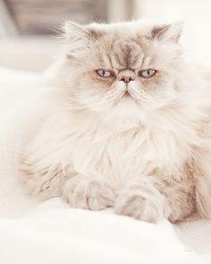 #cat #persian