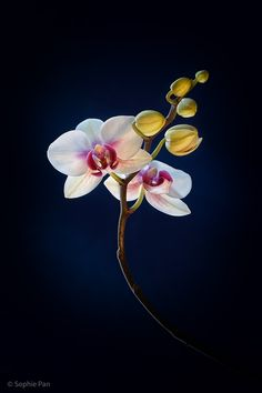 Photograph Spring Orchid by Sophie Pan on 500px