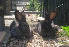 Raising Rabbits for Meat, Fur, Wool & Fertilizer