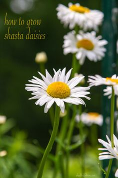 How To Grow Shasta Daisies.  Learn how to grow this easy spring blooming perennial  #gardening #shastadaisy #howto #spring  www.ahealthylifeforme.com