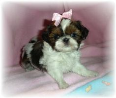 Hello, look at my relatives at: http://www.donnasdarlingshihtzu.com/pastpups.html