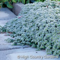 Paronychia kapela....Can be used instead of creeping thyme as it has no mold 'issues'. Prefers a sunny site and can withstand temperatures down to -17,7º C. It grows best in sandy-gritty soil that is dry but tolerates a range of soils.