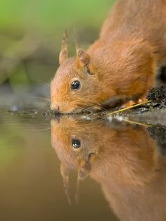 """Thirsty Squirrel""   [Photographer Jerry Bouwmeester]'h4d'121103"