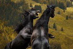 Noriker Stallions, Austria