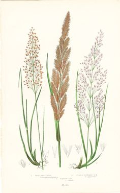 Wood Small Reed Antique Botanical Print by BrocantePrints on Etsy