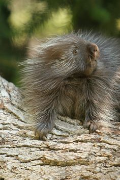 Porcupine by Mark Wells