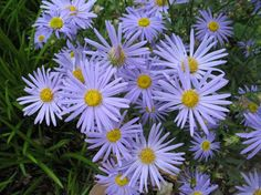 "Kalimeris incisa 'Blue Star'. 12"" - 18"" H, long summer bloom, sun to part shade"