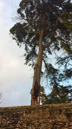 A Contar vindo do cėu: As árvores morrem de pé