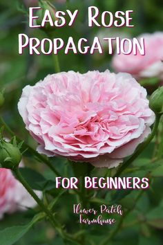 Root roses from cuttings, easy step by step instructions to get free roses.  Simple rose propagation for beginners and seasoned gardeners alike.  Don't bother using potatoes! That only slows the rooting process and almost never works. This rooting roses from cuttings method works much faster.  #plantpropagation #beginnergarden #roses