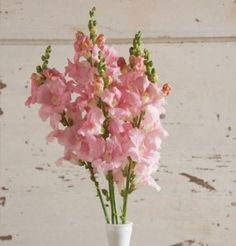 This page gives instructions on how to buy snapdragon flower seeds from David's Garden Seeds. Light Pink Flowers, Colorful Flowers, Spring Flowers, Beautiful Flowers, Wall Flowers, Blush Flowers, Bouquet Flowers, Cut Flowers, Bouquets