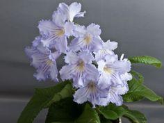 Streptocarpus ~  DS-SUNNY-HARE