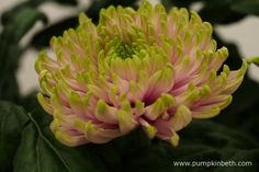 Named in honour of HRH Princes Charlotte of Cambridge, Chrysanthemum 'Rossano Charlotte', has striking flowers - the ray petals are a sugary pink colour, tinged with lime green at their tips. Green Plants, Green Flowers, Cut Flowers, Green Leaves, Chrysanthemums, Chelsea Flower Show, Different Flowers, Colour Combinations, Gerbera