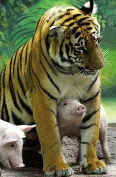 two year old Saimai, a Royal Bengal tigress, with two of six piglets she is raising.
