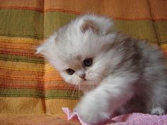 We have a kitten that looks just like this litttle one...Designer-in-training