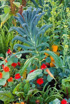 Dinosaur Kale with Tropaeolum nasturtiums edible flowers, peppers in vegetable and flower garden mixture