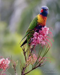 The Rainbow lorikeet (Trichoglossus moluccanus) is a species of parrot found in Australia. Photo and caption by Richard Cridland. Pretty Birds, Beautiful Birds, Beautiful People, Beautiful Pictures, National Geographic Wallpaper, Parrot Image, Geo Wallpaper, Parrot Wallpaper, Australian Animals