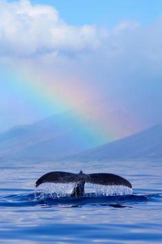 Humpback whale dives with a rainbow on the West Maui Mountains off the coast of Maui, Hawaii.