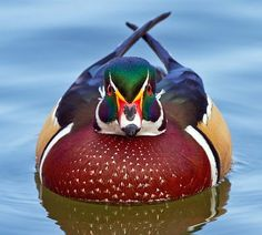 Beautiful shot of a wood duck by Jose E. Pretty Birds, Beautiful Birds, Animals Beautiful, Duck Pictures, Animal Pictures, Duck Art, Waterfowl Hunting, Little Birds, Colorful Birds