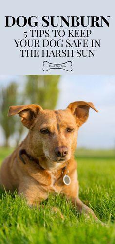 Dog Sunburn: 5 Tips To Keep Your Dog Safe In The Harsh Sun | Dog Care | Dog Summer Care | Dog Health | Dog Health Tips, Dog Health Care, Health Advice, Sun Dogs, Ways To Show Love, Summer Dog, Dog Care Tips, Mom Advice, Aussies