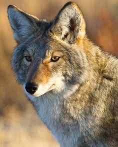 Coyote Photograph by Cindy Goeddel