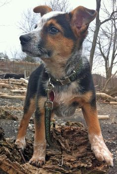 The Daily Puppy  ~   Ozzie the cattle dog mix