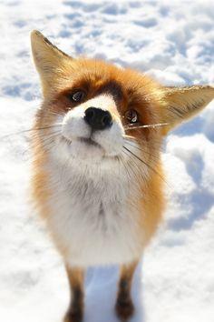 Fox Snow Wallpaper iPhone - Best iPhone Wallpaper