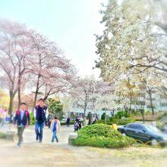 延世大学の春