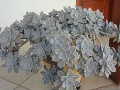 Graptopetalum paraguayense is a colorful, succulent perennial with up to 6 inches (15 cm) wide rosettes... #graptopetalum #succulentopedia #succulents #CactiAndSucculents #WorldOfSucculents #SucculentLove #SucculentPlant #SucculentPlants #succulentmania #SucculentLover #SucculentObsession #SucculentCollection #plant #plants #SucculentGarden #garden #desertplants #nature