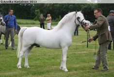 Welsh Mountain Pony (section A) - stallion Heniarth Quinnell
