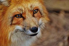 Fuchs, Wildpark Poing, Animal