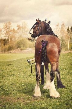 Clydesdale horse with pretty braids.