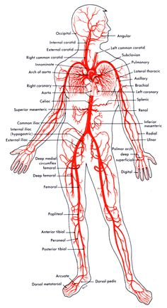 This diagrams shows the major arteries in the human body. | School ...