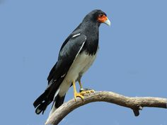 Mountain Caracara (Phalcoboenus megalopterus); classified as least concern (LC); 18-21 inches tall with a wingspan of 44-48 inches.