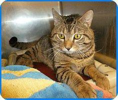 Westampton, NJ - Domestic Shorthair. Meet C-57317 Tonka a Cat for Adoption.