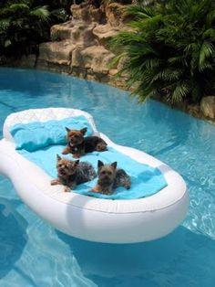 Yorkies love the pool............