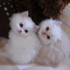 they look like twins they are fluffy and cute and the blue eyes and little ears and they are cute!
