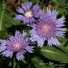 Aster flowers are great gardening plants to attract butterflies : Gardens With Wings