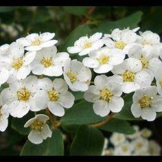 Spiraea arguta flores Plants, Ideas, Gardens, Garden Shrubs, Small Kitchens, Garden Decorations, Vegetables Garden, Flora, Plant