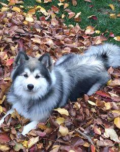 Pomsky, Dogs, Animals, Animais, Animales, Animaux, Pet Dogs, Doggies, Animal