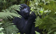 ruanda-reisen-rundreisen-safaris-in-ruanda-gorilla-trekking