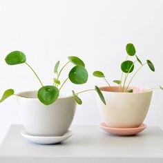 Just looking at those two Pilea babies makes us happy!