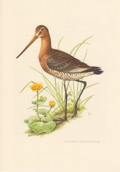 1956 Black-tailed Godwit, Antique Print, Vintage Lithograph, Limosa limosa, Scolopacidae, Ornithology, Birds, Shorebird, Wading Bird