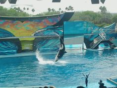 Seaworld Orlando, FL-- Shamu's first show back since the trainer was killed