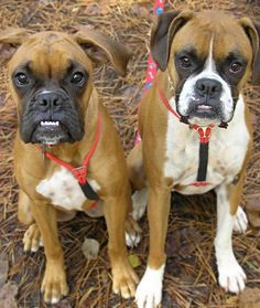 Ricky and Lucy the Boxers