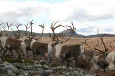 Villrein er et fast innslag på Venabygdsfjellet Hunting License, Norway, National Parks, Adventure, Reindeer, Travel, Animals, Pictures, Viajes