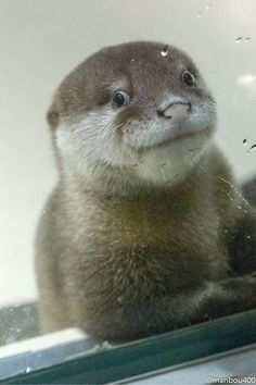 "dailyotter: ""Otter Pup Tries to Look Natural Via @manbou400 / Sometimes Zoo & Aquarium Views """