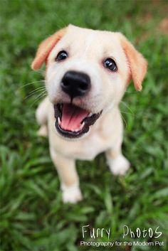 Yellow Lab Puppy.  So cute!
