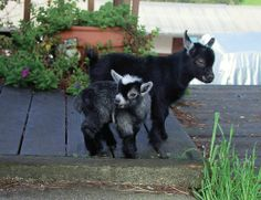African Pygmy  The Pygmy Goat, another African import, has gained wide popularity as backyard pets due to petting zoo exposure. They are hardy and adaptable and make excellent little browsers for overgrown fields and small pastures.