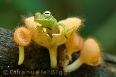 A small treefrog resting on a mushroom in the Peruvian Amazon